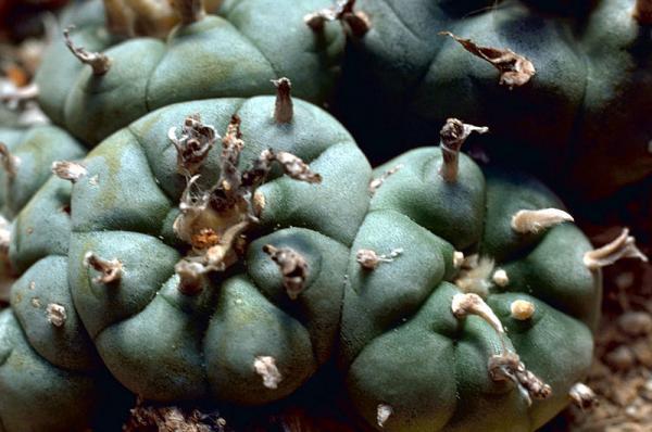 How to grow peyote