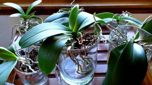 How to water the orchids step by step?