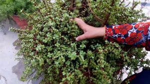 Jade plant care: How to care for the plant?