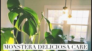 Monstera deliciosa care: How to do it?
