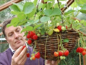 Tips for growing strawberries in pots
