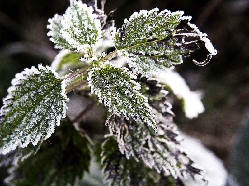 frost plants