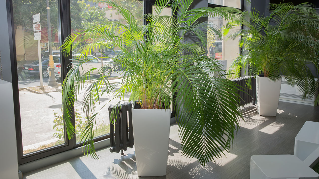 Care for palm plants