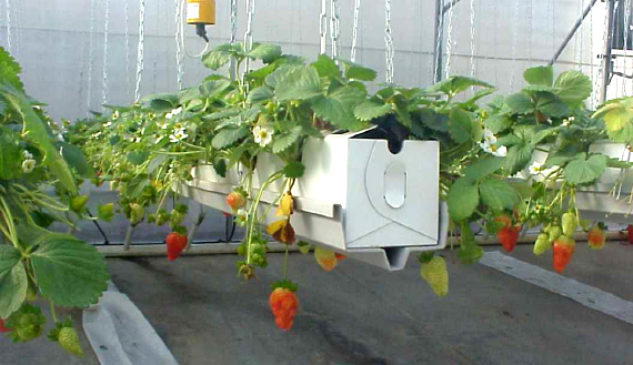 How to grow hydroponic strawberries
