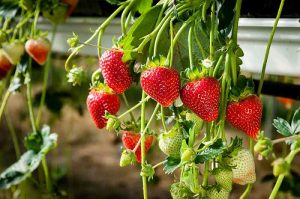 How to grow hydroponic strawberries?
