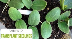 How and When to transplant seedlings? Discover now