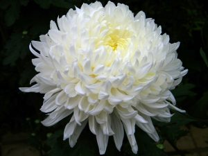 10 white flowers for garden