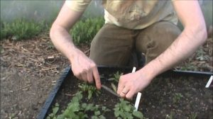 How to grow beetroot seedlings step by step