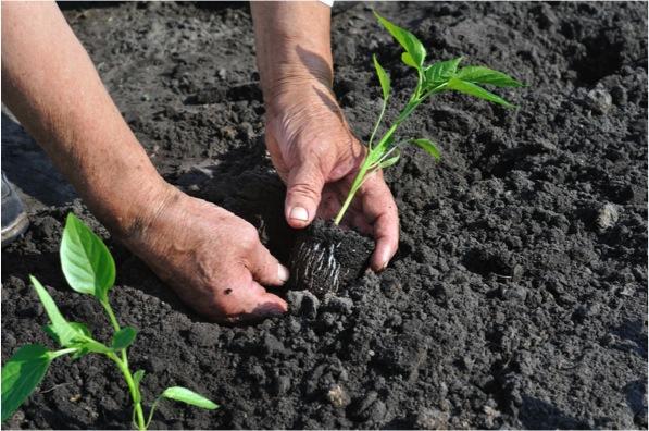 transplant a seedling