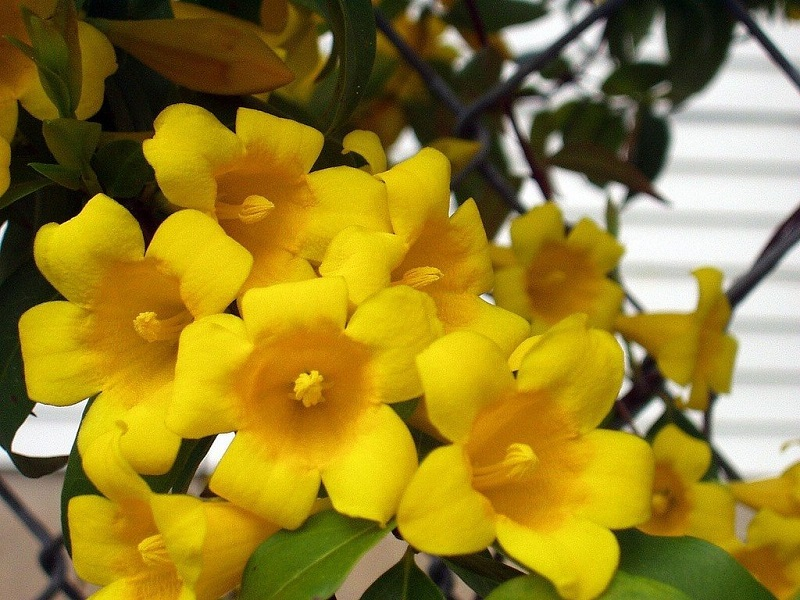 9 types of jasmine