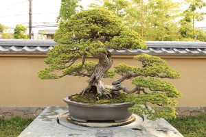 How to Care for a Bonsai
