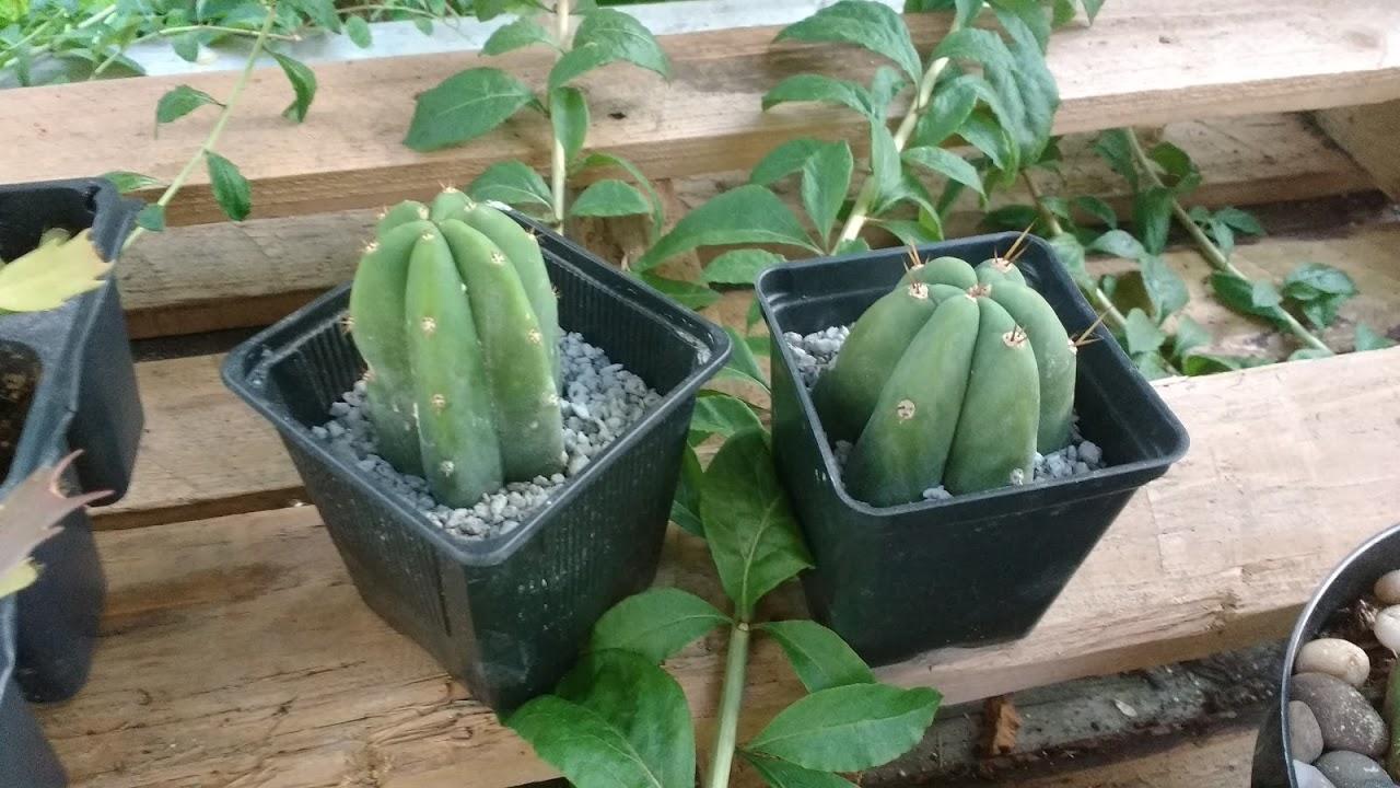 San pedro cactus care
