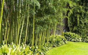 Bamboo garden- How to grow bamboo in the garden