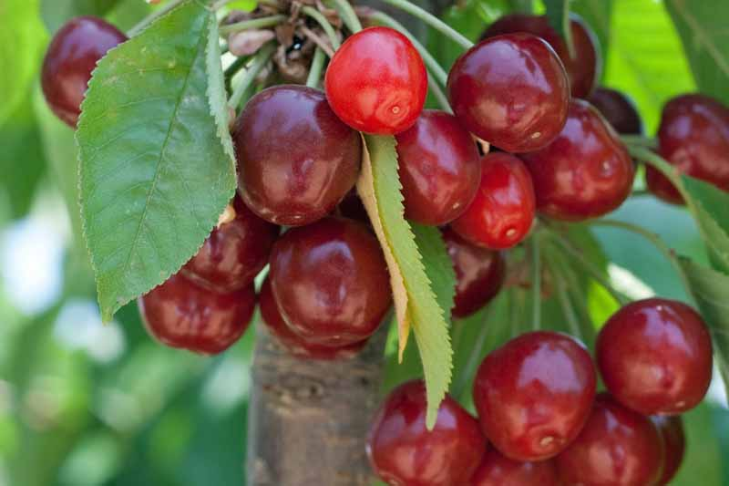how long does cherry tree take to grow
