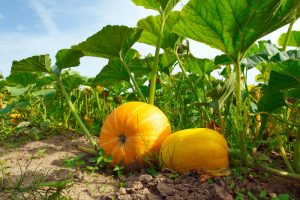 When to plant pumpkins?