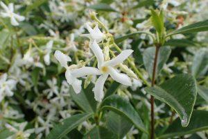 Star jasmine care: How to do it properly?