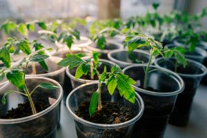 How to germinate tomato seeds faster