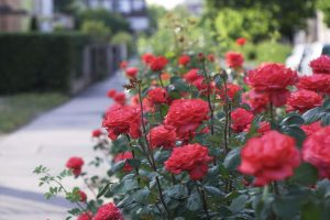 When to plant roses?