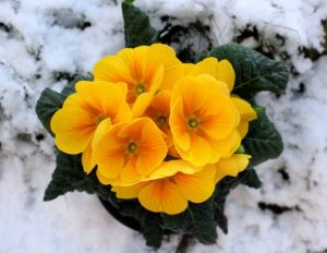 Decorate your garden with these beautiful cold weather flowers
