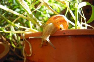 How to get rid of snails in potted plants?