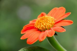 The popular Mexican Sunflower, Tithonia rotundifolia